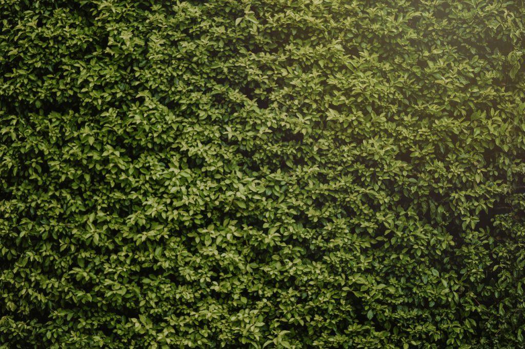 Taxus Baccata van Haagplanten Heijnen