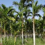 Areca palm aanbieding, meer dan een naam